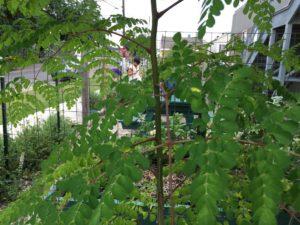 moringa tree sprout