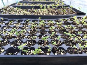 seedlings southbound